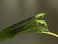 Praying mantiss