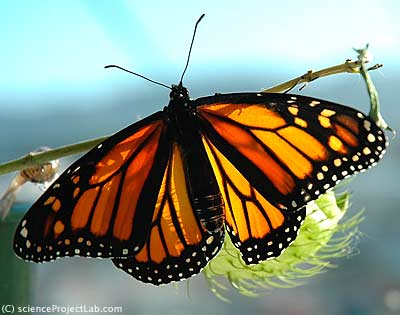 new born monarch butterfly