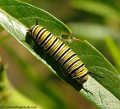 mature caterpillar of monarch butterfly