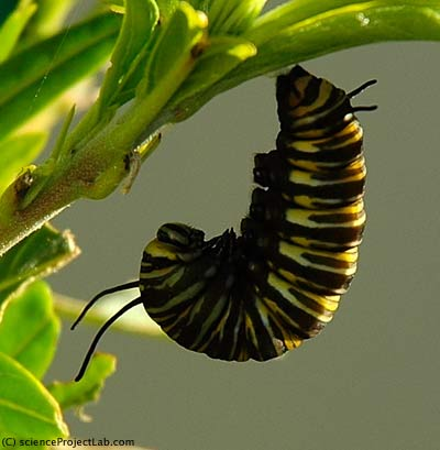 caterpillar prepares to form chrysalis
