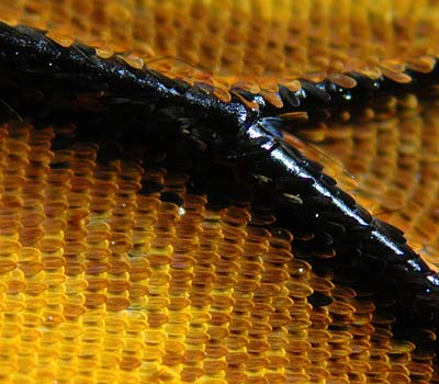 wings of monarch butterfly are covered with tiny scales.
